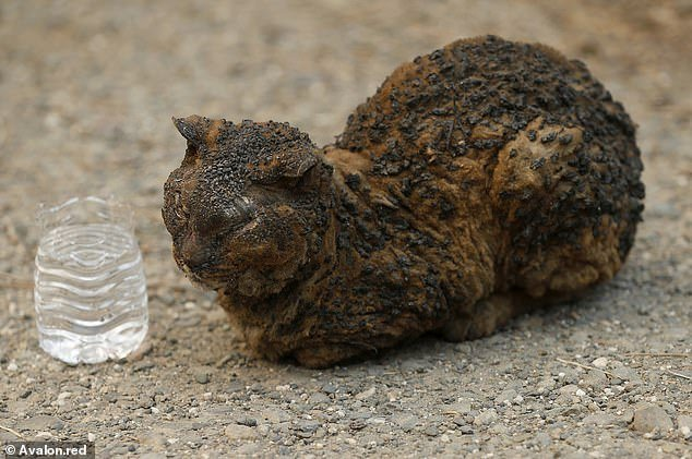 Non ce l'ha fatta Billiegirl, il gatto simbolo degli incendi della California
