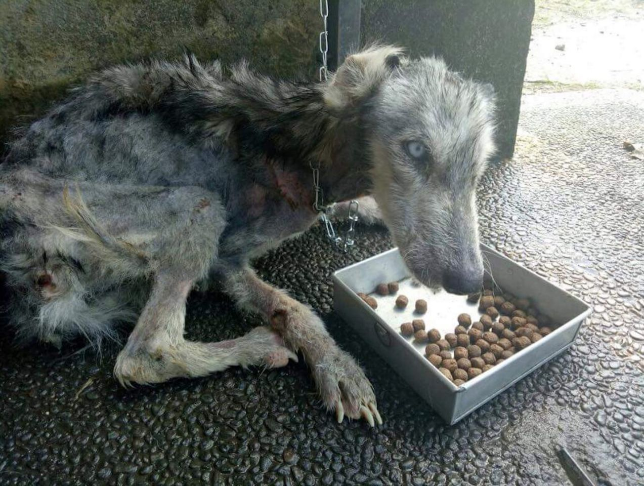 Randagio era ridotto a uno scheletro, un giovane l'ha salvato e oggi è un cane felice