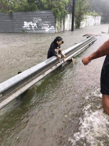 i-cani-abbandonati-durante-l'uragano-Harvey 3