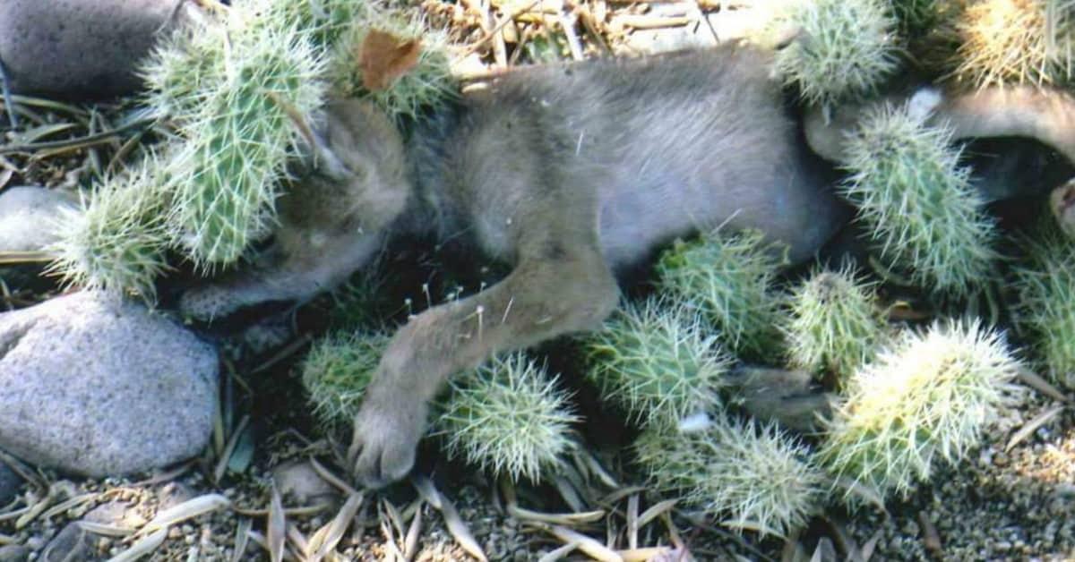 la-verità-sul-cucciolo-con-le-piante-di-cactus-sul-corpo