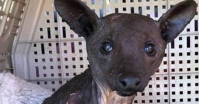 il-salvataggio-del-cucciolo-di-procione-in-condizioni-terribili