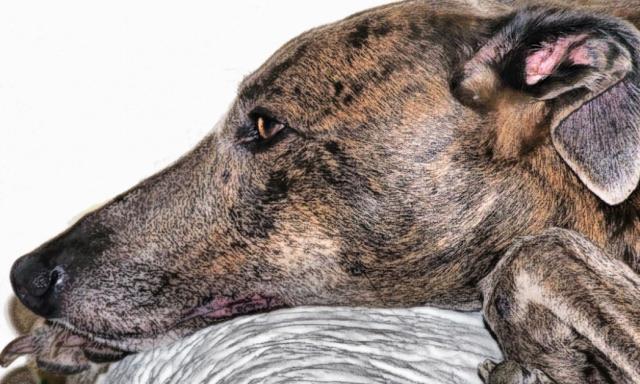 borreliosi-cane