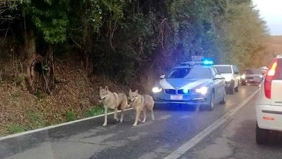 Polizia scorta due lupi cecoslovacchi messi in fuga dal maltempo