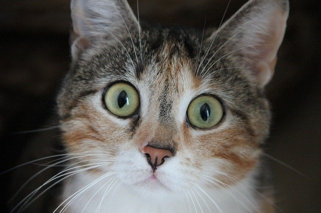 allergie-del-gatto