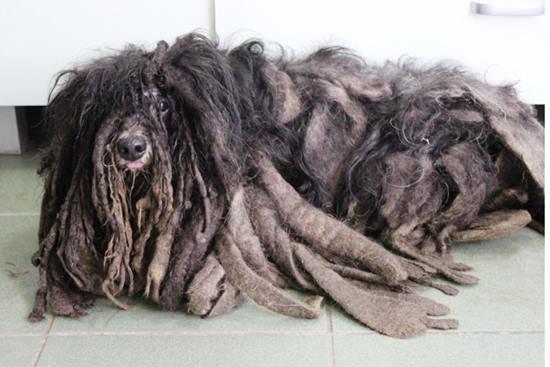 Volontari trovano in strada un cane intrappolato dal pelo e lo liberano... ecco com'è ora
