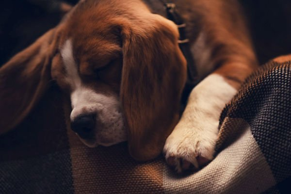 cane-sonno