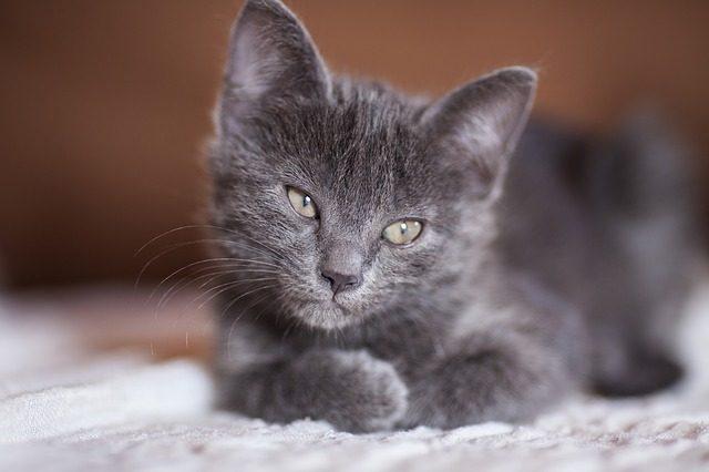 congiuntivite-gatto
