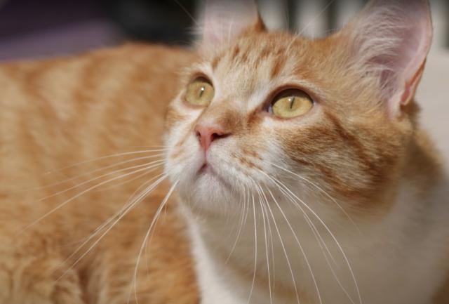clamidiosi-gatto