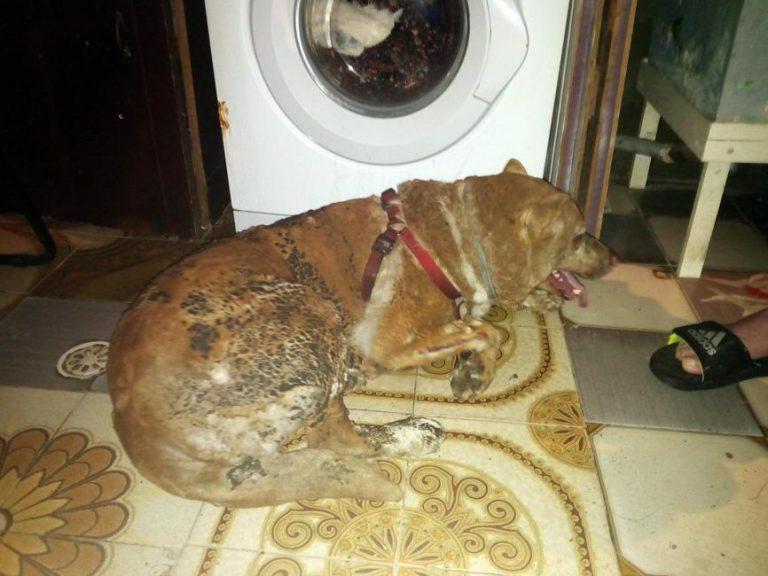 Abbaiava troppo, cane legato e bruciato vivo: è vivo per miracolo