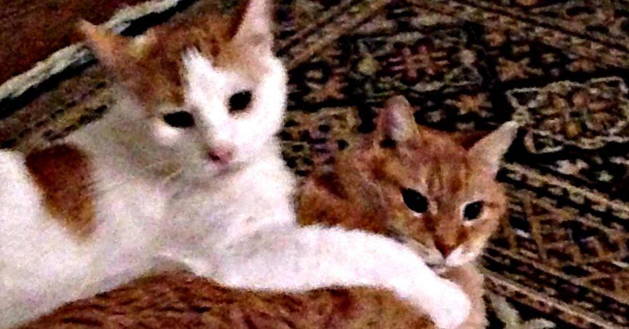 gatti adottati