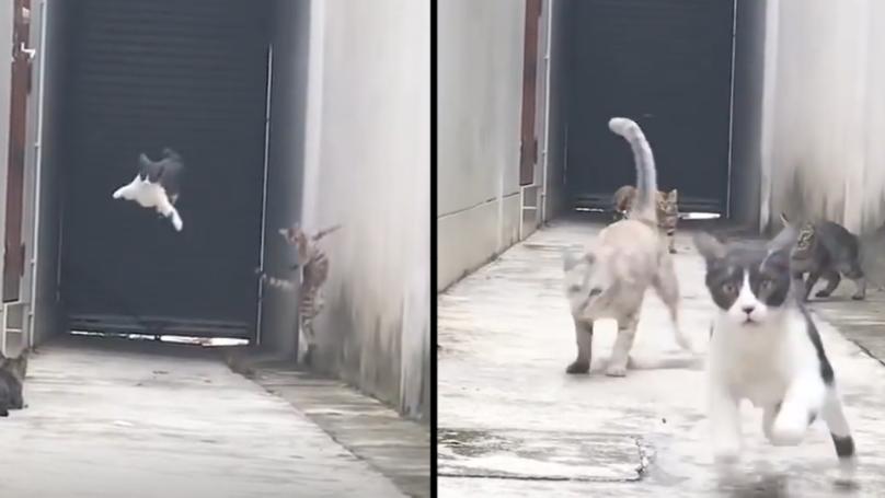 Gatto funambolo conquista il web: ecco come sfugge ad altri tre felini