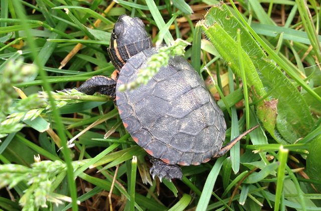 cosa-mangiano-le-tartarughe-di-terra