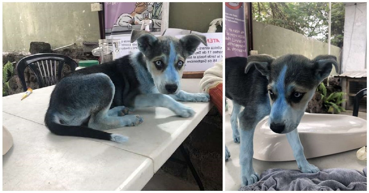 taylor-la-husky-blu