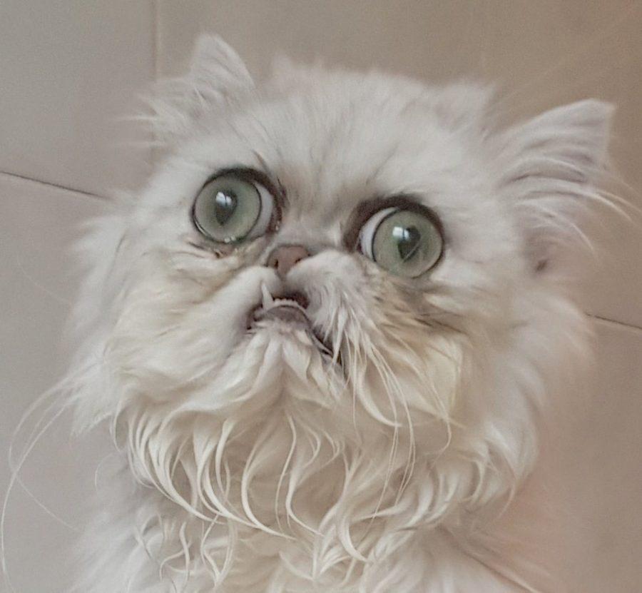 Non Potrete Non Innamorarvi Di Wilfred Il Gatto Guerriero Bigodino