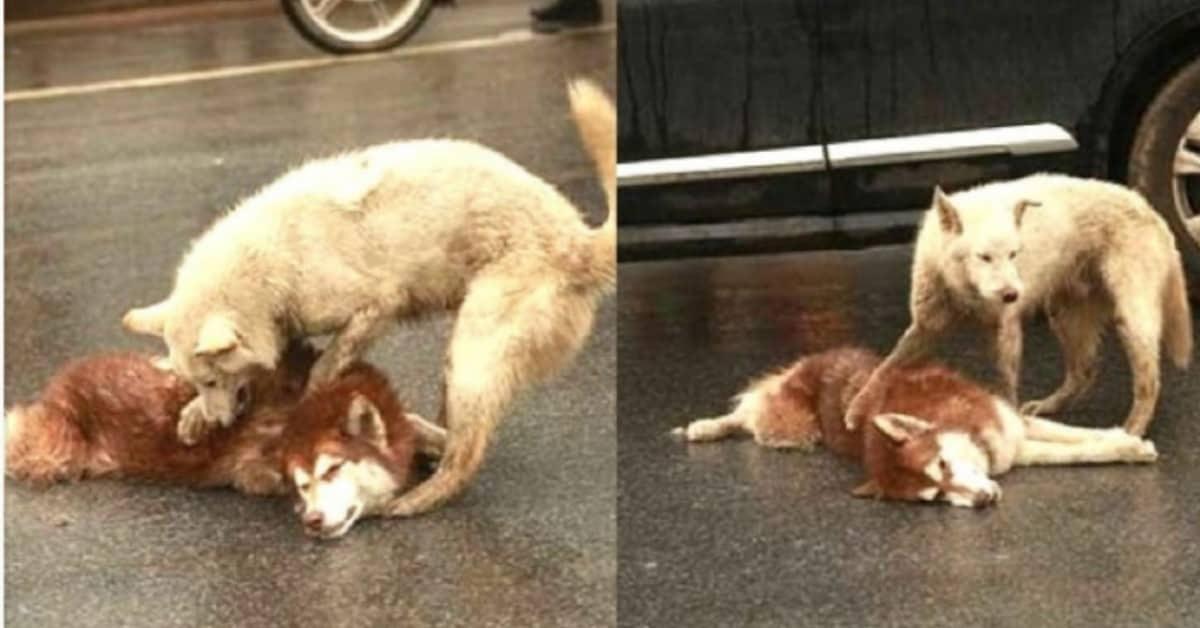 il-cane-che-non-lascia-il-suo-fratellino-a-quattro-zampe-nonostante-fosse-morto