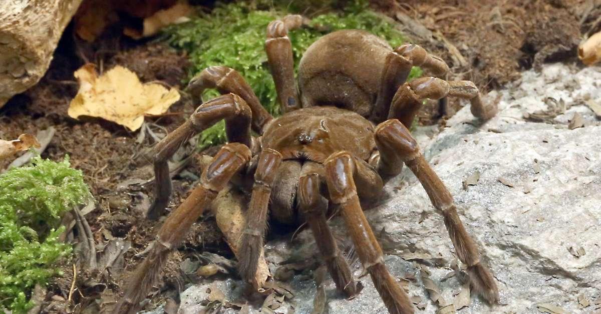 Se i ragni volessero, potrebbero mangiare l'intera razza umana