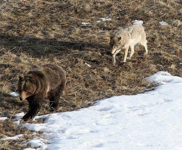 orso-lupo-neve