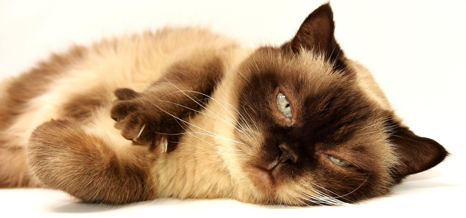 Parassiti del gatto, sintomi e cosa fare