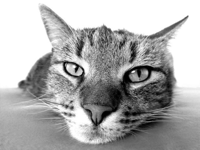 Parassiti del gatto
