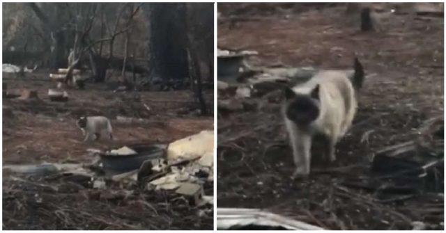 timber-la-gatta-sopravvissuta-agli-incendi-in-california