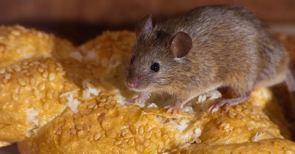 Topi in casa? Ecco 6 modi per sbarazzarsene senza usare pesticidi