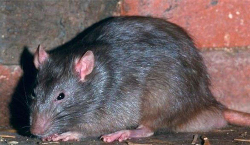 Topo morto nei fagioli neri in scatola dall'Italia