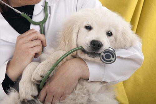 veterinario-cane