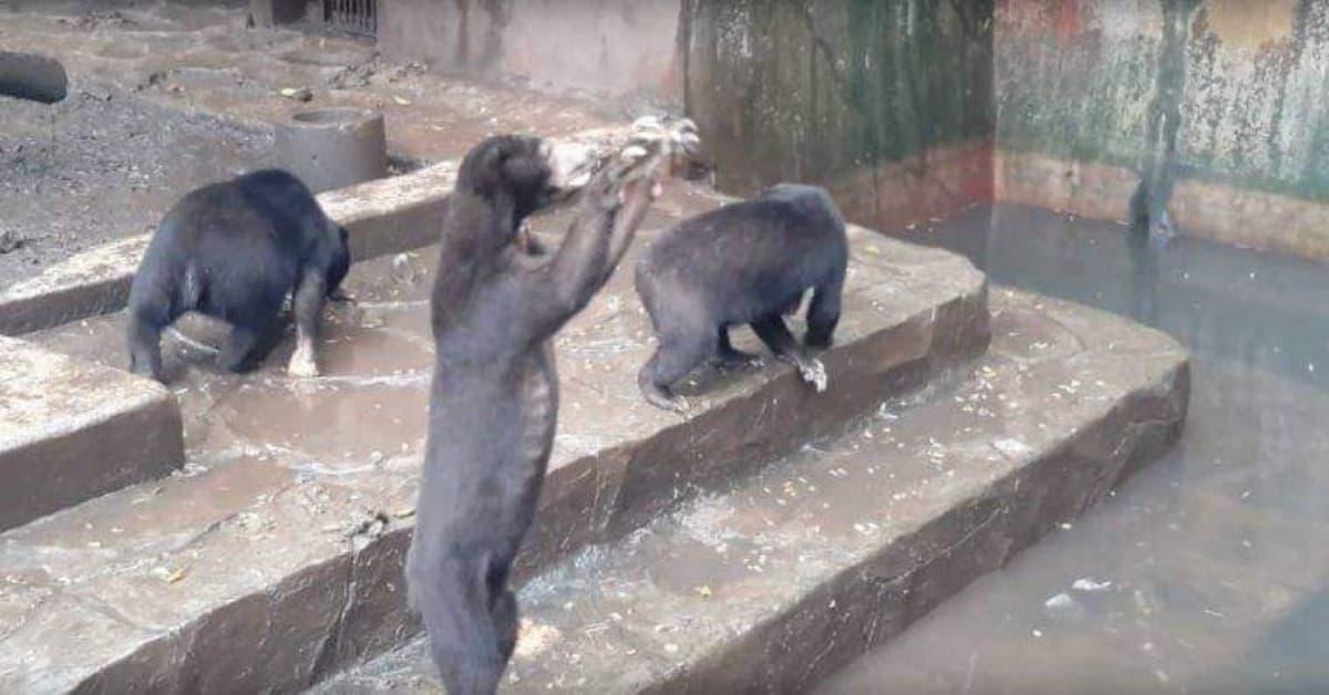 le-immagini-devastanti-degli-orsi-nello-zoo-di-Beruang