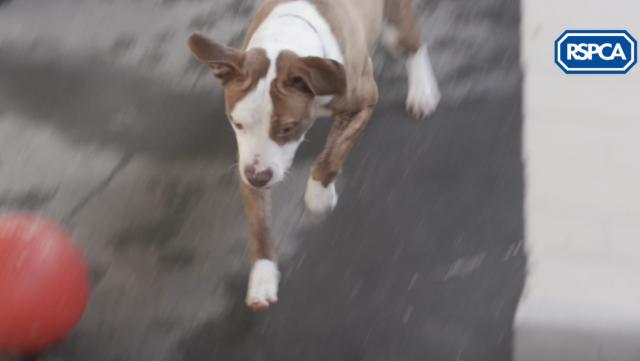 Bailey-pitbull