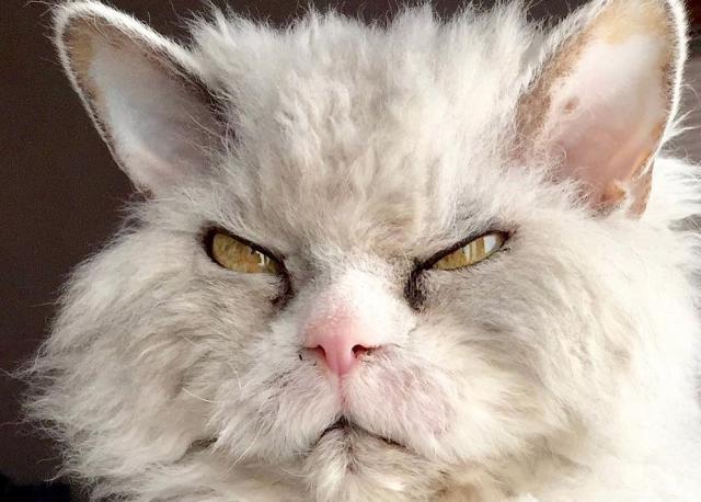 Pompous Albert Il Gatto Più Arrabbiato Di Instagram Bigodino