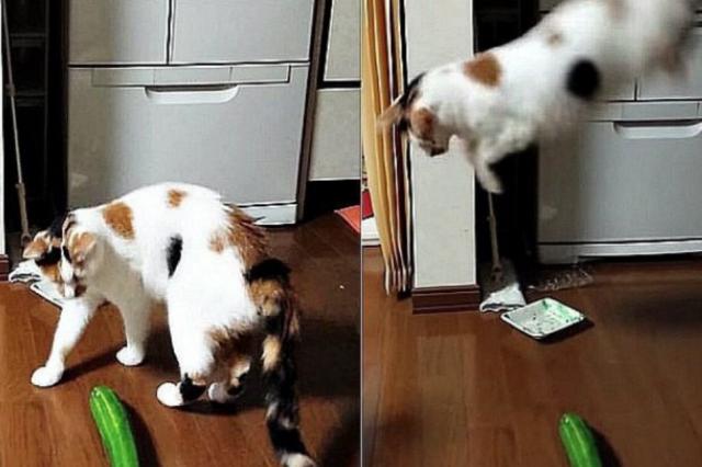 perché-i-gatti-sono-terrorizzati-dai-cetrioli