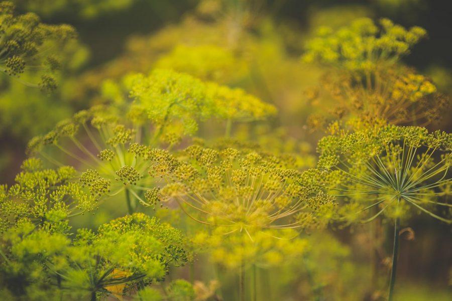 aneto-benefici-pianta