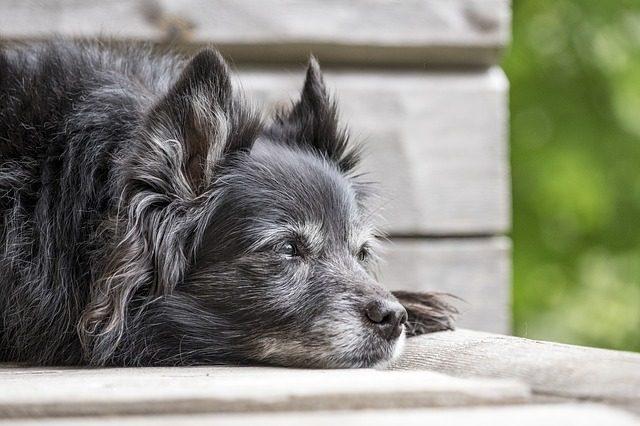 10-sintomi-che-il-vostro-cane-sta-per-andare-via-per-sempre 2