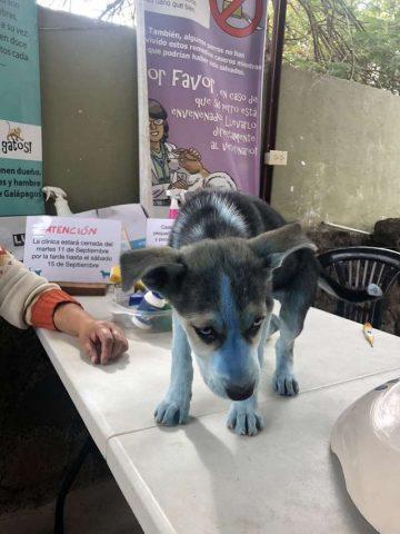 Taylor-il-cucciolo-ricoperto-di-vernice-blu 1