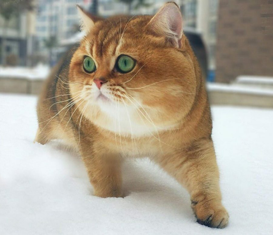 gatto che gioca nella neve