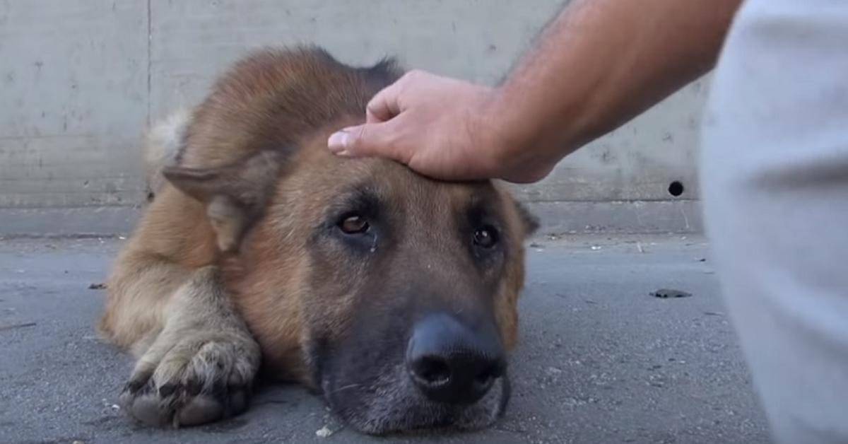 Era finito in un canale senza uscita, pastore tedesco viene salvato e ringrazia i suoi soccorritori