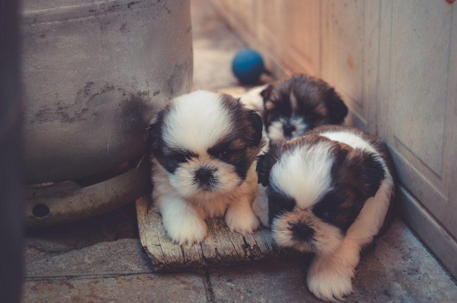 cani-cuccioli-cosa-possono-mangiare