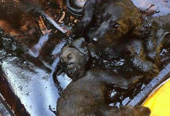 cuccioli-catrame-India