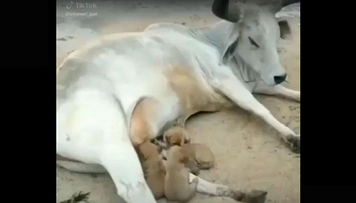 mucca che allatta dei cuccioli di cane