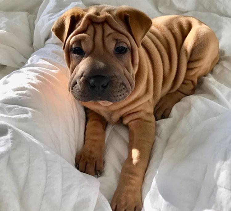 Shar Pei e Bulldog