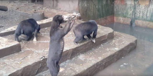 le-condizioni-degli-orsi-nello-zoo 1