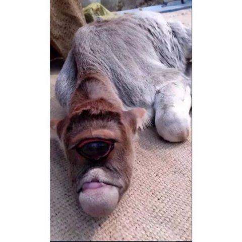 vitello-mutante