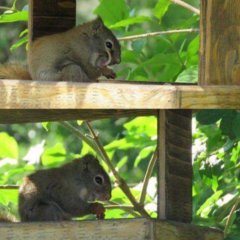 il-grande-dente-dello-scoiattolo