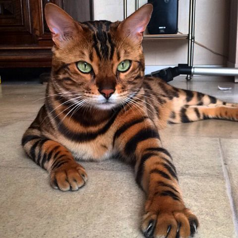 gatto-bellissimo