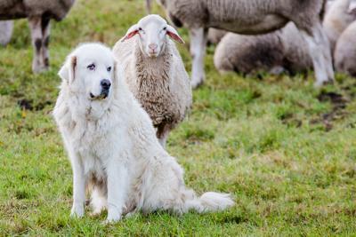 pecore-cani