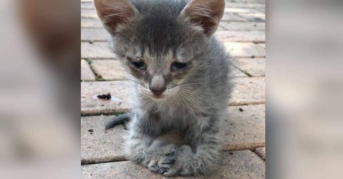 Scooter-il-gattino-nato-con-una-rara-malformazione