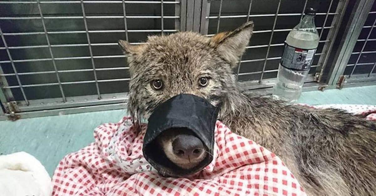 il-salvataggio-dello-strano-cucciolo-che-in-realtà-era-un-lupo