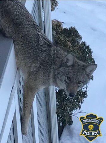 un-coyote-molto-curioso 1