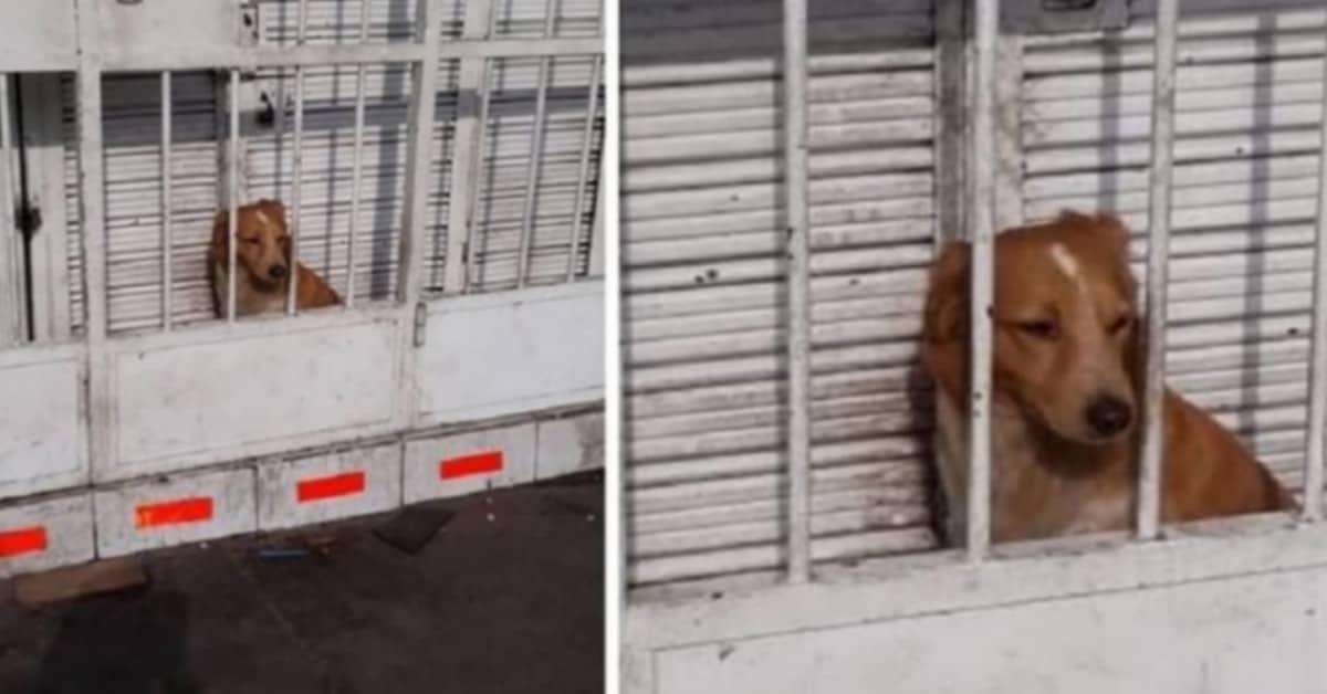 il-cane-chiuso-dietro-le-sbarre-usato-per-fare-la-guardia-alla-pizzeria