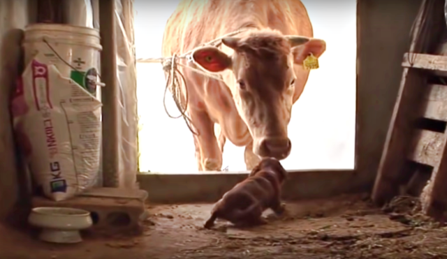 La sua famiglia vende la mucca che si è sempre presa cura ...